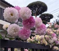 どなたかこの写真の花の名前がわかる方いらっしゃいませんか?