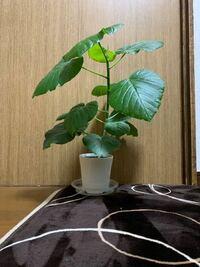 ウンベラータについて。 冬ですが室内で元気に育ってます! ウンベラータ初めて育てるのですが、これはそろそろ植え替え時期でしょうか?