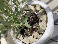 家庭で栽培している観葉植物に関して質問させてください  ホワイトセージにチャレンジしています  ネットでの情報で アルカリよりの土が好き 蒸れに弱く 水はけの良い土 ハーブの土が最適で事前に苦土石灰なのでアルカリよりにすると良いとのことで  市販のハーブ用の土を高いアルカリよりにして鉢植えに挑戦してみたこですが、2日経っても土が湿ったままです  他の市販の野菜用の土で植...