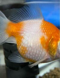 閲覧ありがとうございます。 金魚のピンポンパールを飼っているのですが、 ピンポンパールの鱗の状態が見分け辛くて相談いたしました。 これは松かさ病、または水泡でしょうか? ご飯もよく食べよく泳ぎ元気なの...