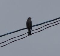 今日、見かけた鳥なんですが、名前がわかりません。 御存知の方が居られればご教示ください。