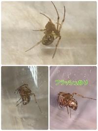 家の収納ボックスの上にいたのですが、 マダラヒメグモでしょうか? ハイイロゴケグモでしょうか? 気になって寝れずにいます。