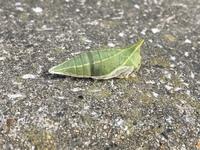 アオスジアゲハの蛹が落ちているのを見つけました。 気になるのが、少し黒い部分があることです。 ハエやハチに寄生されているのでしょうか?