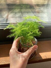 観葉植物のアスパラガスをハイドロカルチャーで育てています。 あまりよくわからず 根腐れ防止剤などをいれずに植えてしまったせいか だんだん色が薄くなってきている気がします、、  このまま様子を見るか  ちゃんと一から植え直すか  どちらが負担が少ないのでしょうか、、?  大きくなってもらいたいです、、