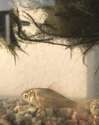 川魚にお詳しい方教えてください。 母が実家で飼育している魚 メダカだと聞いてもらったそうなのですが どう見てもメダカサイズではないようなのですが これは何という魚でしょうか?