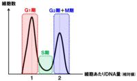 体細胞分裂のDNA量のグラフ 間期はどこですか?