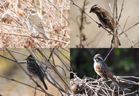 野鳥の見分け方についてお伺いします。 同じ日に河原で撮りました。 調べてみるとホオジロ? かと思ったのですがそれぞれ微妙に違うような感じがしていまいちスッキリしません。アドバイス頂けると幸いです。 よろしくお願いします。