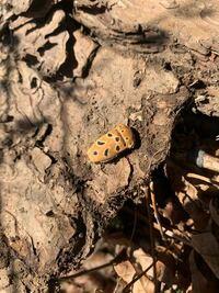 この昆虫の名前がわかる方、教えてください。 撮影地は鹿児島県・山間部・標高780m・ハルニレの樹液跡傍。 右側の頭部は欠損しています。  宜しくお願いします。