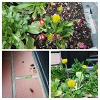 玄関先に寄せ植えしていたデージーの花が今日見ると全部散っていました。 不思議に思ってよく見ると、花びらが根元から散ったものだけではなく、根元は残ったまま食いちぎられた?ような感じで残っている所がありました。 またここ数日、そのプランターの周りにフンっぽいものがいくつも転がっています。隣に置いているヒメヤブコウジの赤い実もいきなり全て無くなっていて、その実が落ちて腐ったものか?とも思っていたの...