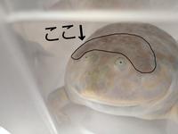 マルメタピオカガエルについて質問です。  最近までなかったのですが、家のマルメタピオカガエルの頭に 茶色いシミのようなものができました。 温度はいつも25度~27度くらいです、 エサはひかりベルツノをあ...