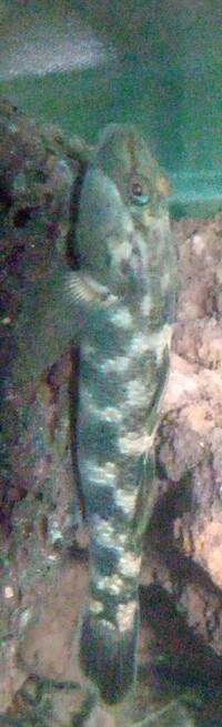 この魚は何ですか? 琵琶湖の下流で捕まえました。