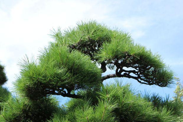 松の木は、枝を全部切って丸坊主にした場合もう二度と枝は生えなくなりますか?