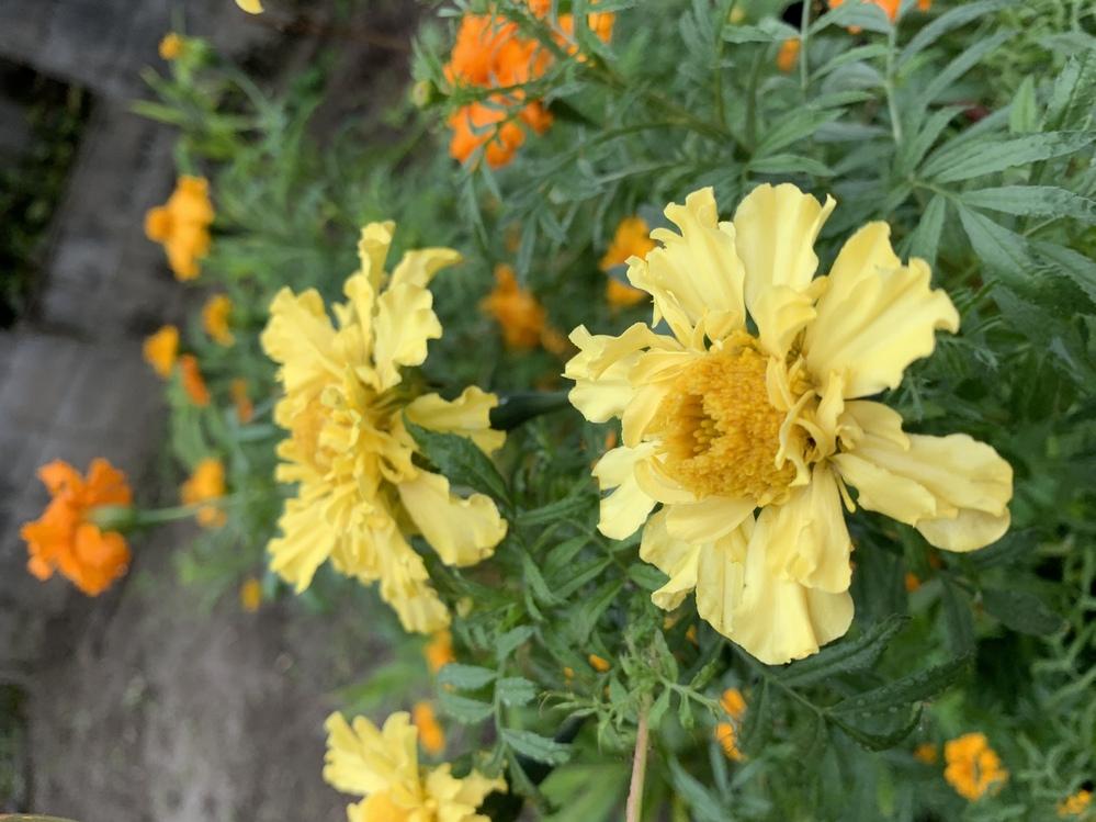 夏野菜栽培。虫除け。 コンパニオンプランツ マリーゴールドは、 畑に種は直蒔きしますか? 別にビニールポットで育ててから、 畑に、植えてますか?