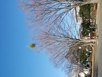 この木に付いてる丸い物体はなんでしょうか?