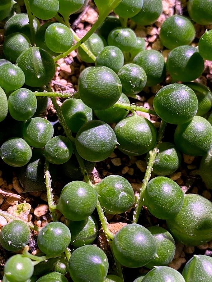 室内で育てているグリーンネックレスについて こちらの茎についている白い粒のような物体は何でしょう? ハダニでしょうか? ハダニは暖かく湿度が高い時期で屋外の植物に発生するイメージです。 この物...