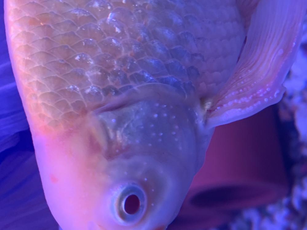 金魚に白い斑点やカビのようなものが見えます。食欲もあまりありません。体を痒がる様子は無いのですが、白点病でしょうか?