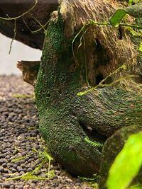 この深緑色の苔はなんていう苔かわかりますか? 対策方法やこれを食べてくれる生物はいますか?