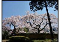京都の醍醐寺の桜なのですがこの桜はどのあたりで見られますか?三宝院の外ですかね?詳しい方よろしくお願い致します。