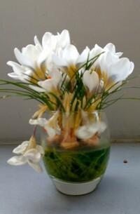 水栽培でクロッカスを咲かせたのですが、いくつかの花が萎れてしまいました。 萎れた花を、元気にする方法がありますか?