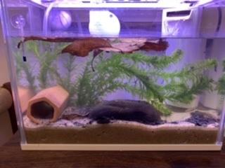 水槽小さいでしょうか? ホトケドジョウを飼育することになりました。 現在、3センチほどの幼魚?を5匹と、ヌマエビ7匹ほどを水槽で飼育しています。 水槽サイズはw30 × D16 × H23 ...