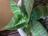 我が家にいつの間にかある植物です。 何の種類か分かる方、よろしくお願いします。