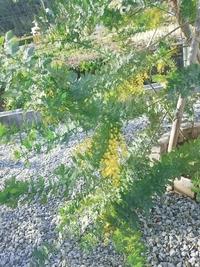 ミモザの木を昨年4月に庭に植えて、花が咲きました。 部屋に飾る用に切りたいのですが、今年切ってもいいのでしょうか? 現在の状態は、170cmを超えていて半分より上には花芽はついておらず、下の方についていて ...