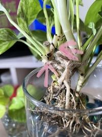 ポトスに詳しい方よろしくお願い致します。 ポトスは枝分かれしないと聞いた事があるのですが家で育てているポトスの芽が2箇所から出ている様に思います。 この画像に出ている芽らしきものはそれぞれ伸びて枝分...