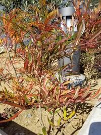 この植物の名前を教えてください 病院の生垣にオリーブと一緒に植えられていました