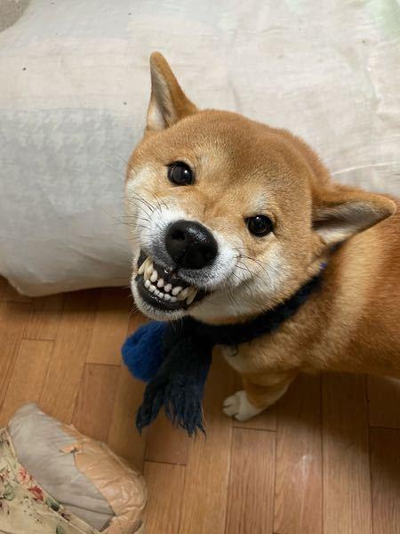 うちの柴犬のサブちゃん俺が食べてる物なんでも食べたがるので、水で薄めて食べさしてます。血液検査やったら異常なしでした。先生も食事は関係ないと言ってるので、人間の餌食べさしても長生きできますか?
