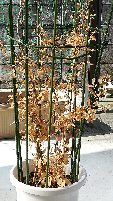 先日大雪の朝、うっかり外に出したままにして観葉植物が雪まみれになりました。 数日後写真の様に青々としていた葉が見る見る枯れていきました。 もう復活は無理でしょうか? それとも何かすればまた新し...