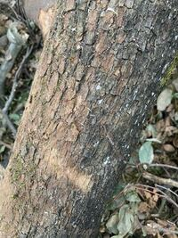木の種類に詳しい方、なんの木か教えて下さい。 伐採後なので、葉はありません。というか、現場が乱雑なので、どれがこの木の葉なのかわかりません。  木の性質を調べ、木工の材料にするか薪にするかを決めたいで...