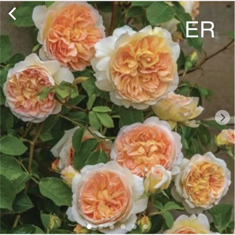このバラの名前品種はなんでしょうか。 教えてください。