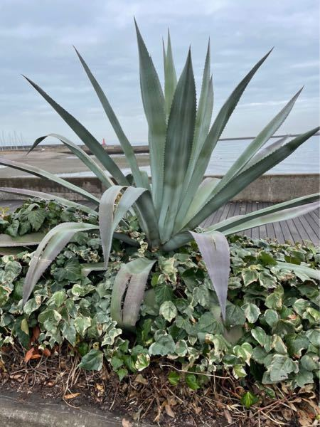 この植物の名前を教えて下さい。 宜しくお願いします!