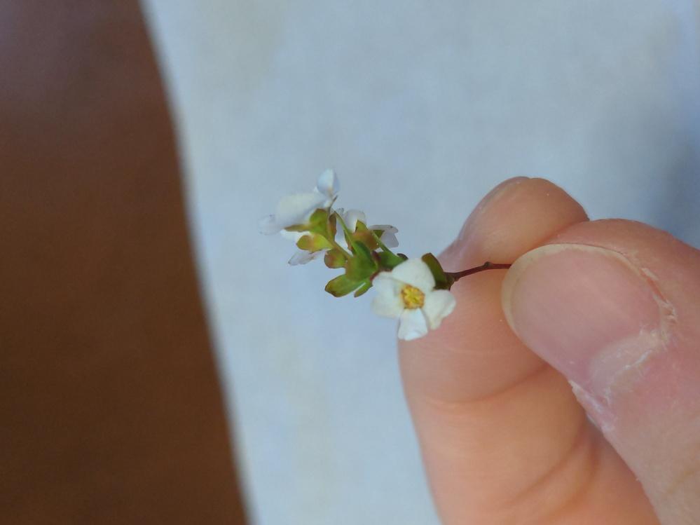 この草花の名前はなんでしょうか? 福岡県の道端に咲いていました。 小さい花で、花びらは丸めの5枚です。 背が低くて、茎(?)は細め、葉も少し丸みがありました。 どなたか分かる方教えて頂けると嬉し...