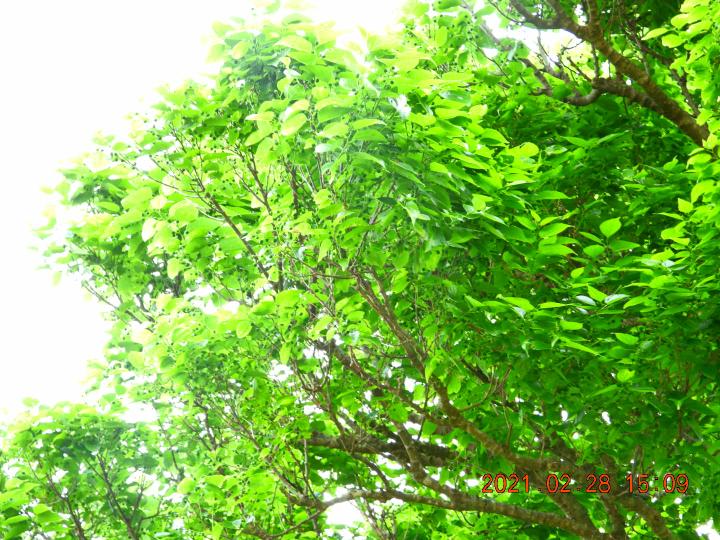 この木の名前教えて下さい。小さい青い実が付いています。