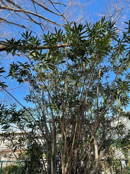 この木は何でしょうか? 長い葉っぱが枝の先端から生えております。 写真は近くの公園で撮りました。 よろしくお願いします。