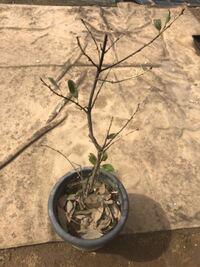 月桂樹がこの状態です。 原因はなんですか? 元気になりますか?  葉がついて元気な月桂樹を2月末に鉢で貰ってきました。直ぐに小さな鉢から現在の鉢に植え替えました。 外で育ててますが、霜はかからないようにしてました。  いただく前の植え方の状態は分かりません。鉢でもらってきましたが、地植えを鉢に入れたのかも、元から鉢で育ててたのかも不明です。
