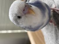セキセイインコ 生後3ヶ月 性別  セキセイインコちゃん 生後3ヶ月の子です。  種類はパイドです! インコちゃんをもう一羽お迎えしようと思っています。同じ性別の子をお迎えしたいと考えています。 インコちゃんの性別に詳しい方いらっしゃったら教えていただけると嬉しいです。