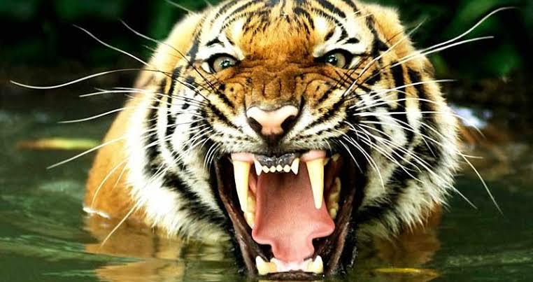 現在世界最強のトラは「ベンガルトラ最大個体」ですかね?