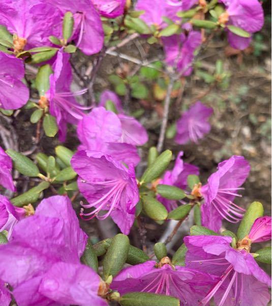 これは何の花でしょうか? 北海道で5月上旬に撮影したものです。