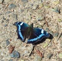 蝶の種類  写真の蝶について 種類が分かる方、ご教示ください。  本日福岡県の山で撮影したものです。 こちらルリタテハでしょうか。