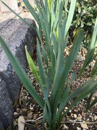 球根植物なのですが なんという花でしょうか?  教えてください。