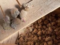 男爵ジャガイモの植え付けでご教授希望です。 ちゃんとした種芋で10m×2列を準備でき、本日植えこみます。 別に、遊んでいる?(計画性のない)畑場所があり、ここへもジャガイモを植えたいのです。しかし、手持ち種芋は写真の通り「昨夏取り入れた、皴シワで芽が成長した」保存食余りしかありません。時折、HCで余りのような種芋が売られるのですが、今年は見かけなく窮余の策として種に使いたいのです。  このよ...