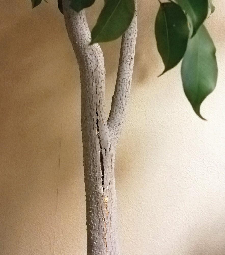 樹齢30年以上のベンジャミンの幹がひび割れてきました。 樹自体は葉っぱもよく繁り元気なんですが、日々裂け目は大きくなっていて心配です。 どうすればいいでしよう。 長年育ててきて、我が家の御神木の...