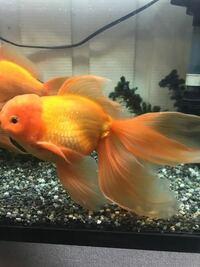 金魚に詳しい方教えてください!! 4年前に金魚すくいで取ってきたのですが、尾びれが異常に大きく、種類が気になっています。