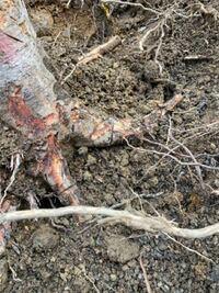 切り株を掘り起こして撤去して、そこを畑にしようと考えているのですが、切り株から切断した根っこはそのまま放置で土を被せて、で大丈夫ですか? 土の中の根っこからまた成長することはないですか?