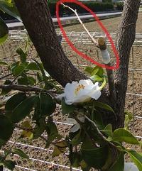 接ぎ木について教えてください。  柿の接ぎ木ですが、 渋柿を甘柿へと考えています。 枝については、ネットで調べ 添付画像のようにチャレンジしてみましたが、 使用する枝は印しているようなものでも 問題ないのでしょうか?  アドバイス願います。