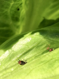レタスについたこの赤い虫はなんですか?