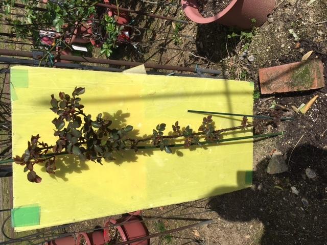ツルバラ2年目ですが 根元から1本伸びてるだけです。 剪定はする方が良いのでしょうか どこを切れば ボリュウムの有るバラになるのでしょうか