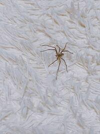 最近、暖かくなり部屋に蜘蛛なのか手足が長いのが 現れました。これは蜘蛛ですか?もし蜘蛛でしたらなんて言う蜘蛛でしょう?